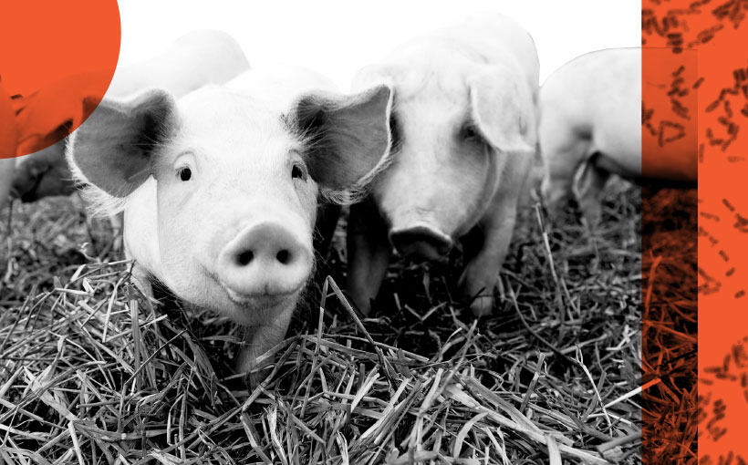Beneficial bacteria in farming - Pigs